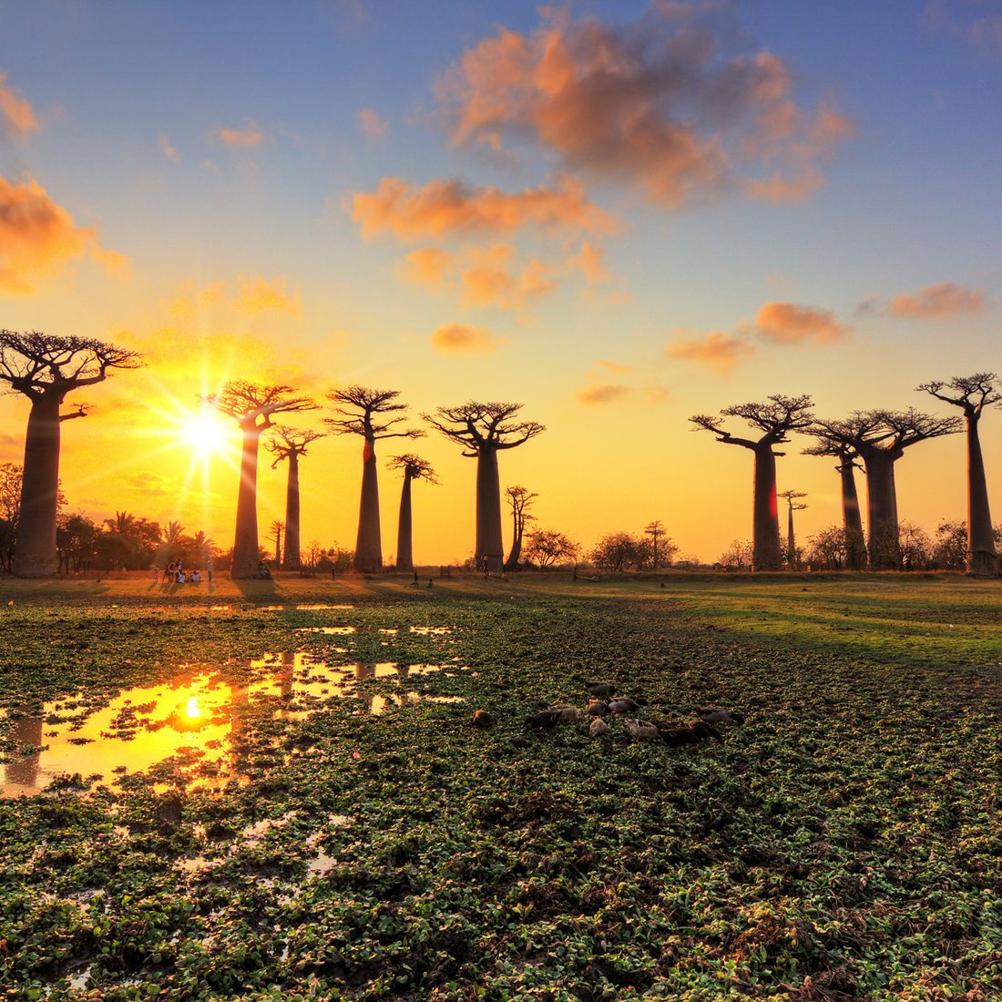 Beautiful Baobab trees at sunset at the avenue of the baobabs in Madagascar